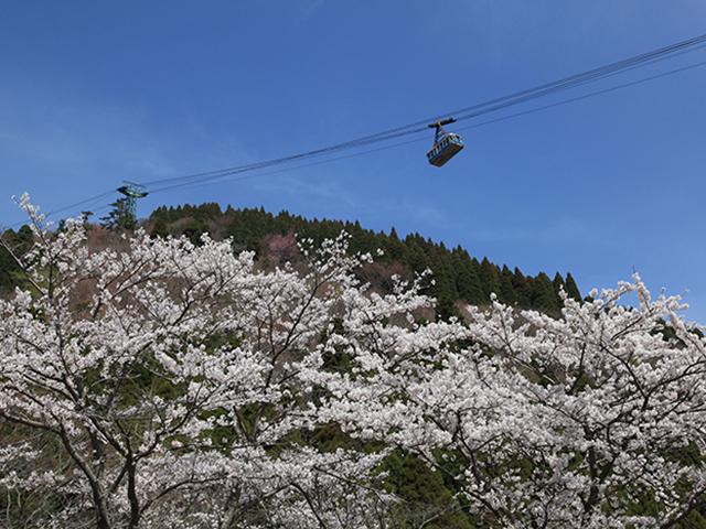 別府ロープウェイの桜
