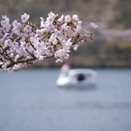 志高湖 桜