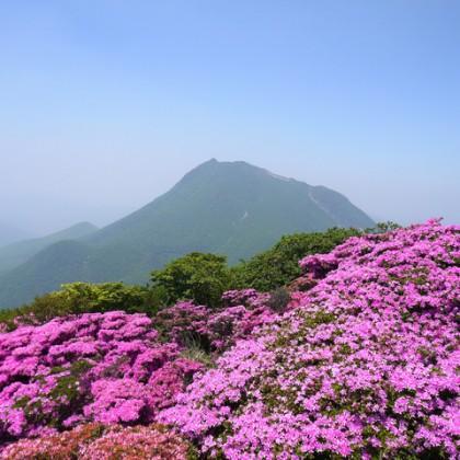 鶴見岳ミヤマキリシマ